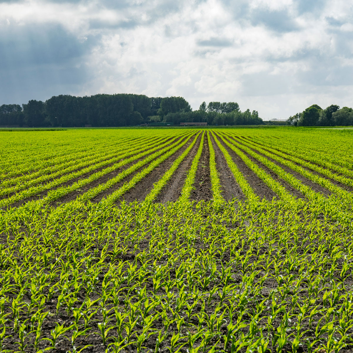 Kiemend maiszaad groeit op bouwland