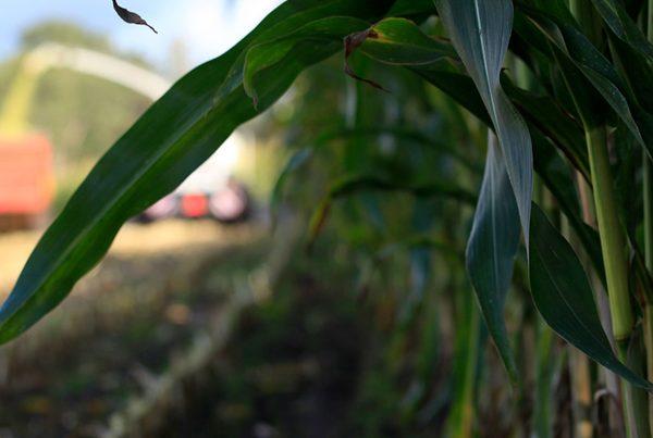 Hakselaar oogst snijmais