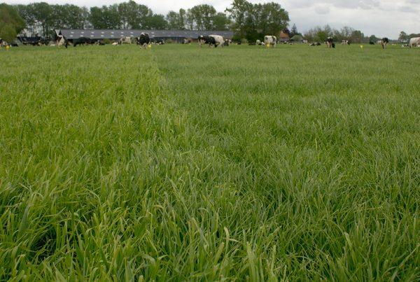 Weideproef met verschillende grasmengsels